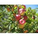 انواع نهالهای اصلاح شده سیب