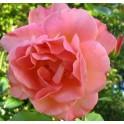 انواع ارقام رز گلداني