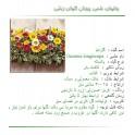 گل گازانيا